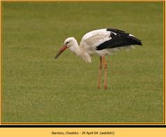 white-stork-01.jpg