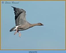 pink-footed-goose-56.jpg