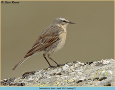 water-pipit-25.jpg
