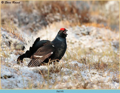 black-grouse-110.jpg