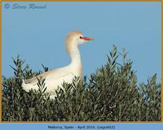 cattle-egret-63.jpg