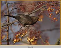 blackbird-85.jpg