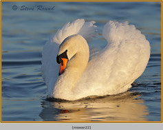 mute-swan-22.jpg