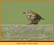 meadow-pipit-16.jpg