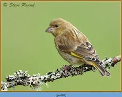 greenfinch-85.jpg