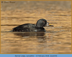 common-scoter-19.jpg