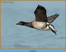 brent-goose-24.jpg
