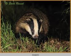 badger-42.jpg