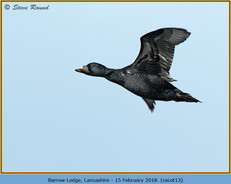 common-scoter-13.jpg