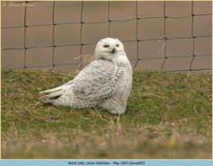 snowy-owl-03.jpg