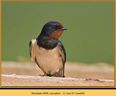 swallow-20.jpg