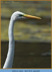 great-white-egret-38.jpg