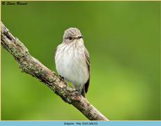 spotted-flycatcher-33.jpg