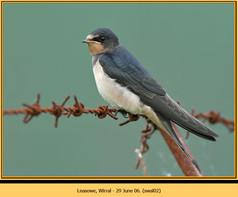 swallow-02.jpg
