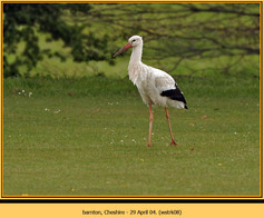 white-stork-08.jpg