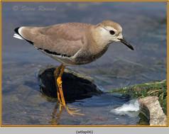 white-tailed-lapwing-06.jpg