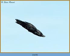 raven-30.jpg