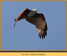 brahminy-kite-04.jpg
