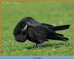 carrion-crow-38.jpg