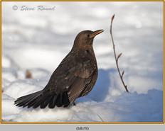 blackbird-79.jpg