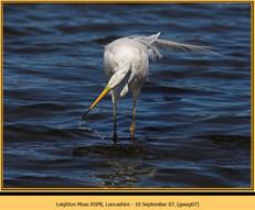 great-white-egret-07.jpg