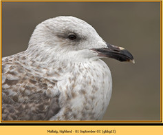 gt-b-backed-gull-15.jpg