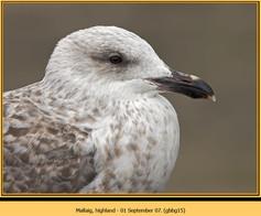 gt-b-backed-gull-15.jpg