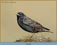 starling-50.jpg