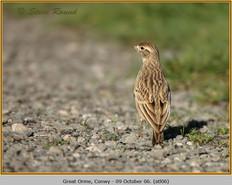 short-toed-lark-06.jpg