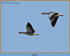 greylag-goose-21.jpg