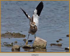 white-tailed-lapwing-21.jpg