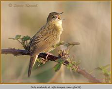 grasshopper-warbler-31.jpg