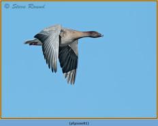 pink-footed-goose-81.jpg