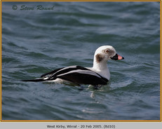 long-tailed-duck-10.jpg