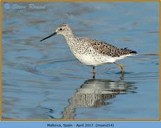 marsh-sandpiper-14.jpg