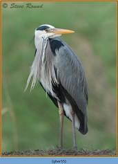 grey-heron-55.jpg