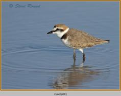 kentish-plover-08.jpg