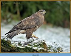 buzzard-105.jpg