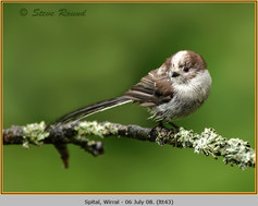 long-tailed-tit-43.jpg