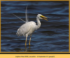 great-white-egret-02.jpg