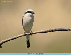 red-backed-shrike-09.jpg