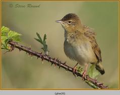 grasshopper-warbler-20.jpg