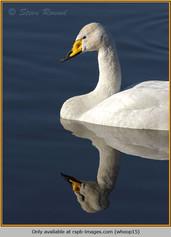 whooper-swan-15.jpg