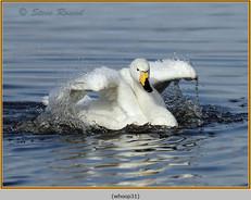 whooper-swan-31.jpg