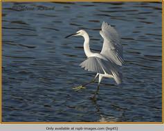 little-egret-45.jpg