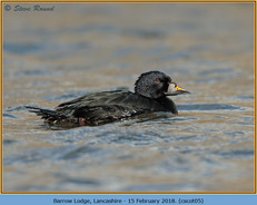 common-scoter-05.jpg
