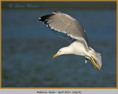 yellow-legged-gull-14.jpg