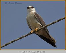 black-winged-kite-02.jpg