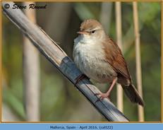 cettis-warbler-22.jpg
