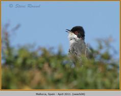 sardinian-warbler-08.jpg